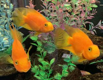 fvgoldfish.jpg