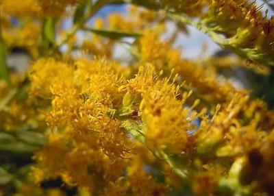 goldenrod2003.jpg