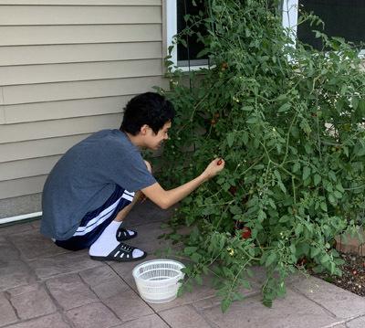 tomatoes08132002.jpg