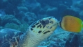 ウミガメと魚のキス