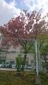 八重桜20200420