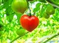ハートトマト