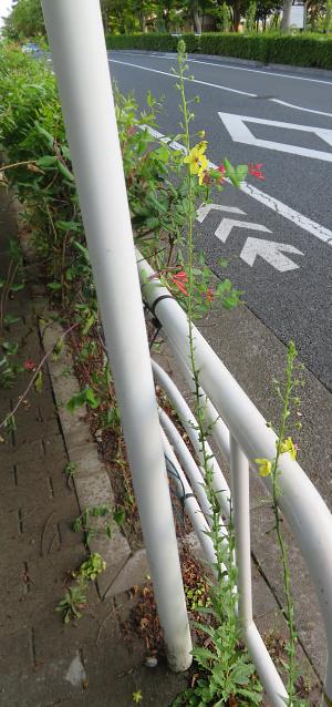 IMG_2179_0607黄色い花何の風景_300