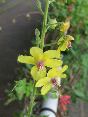 IMG_2183_0607黄色い花何_300