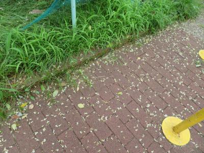 IMG_3003_0729公園のエンジュの花が道路に散る_400