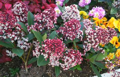 DSC_1358_0304バス通りのマンションの花壇のスキミアの花_400