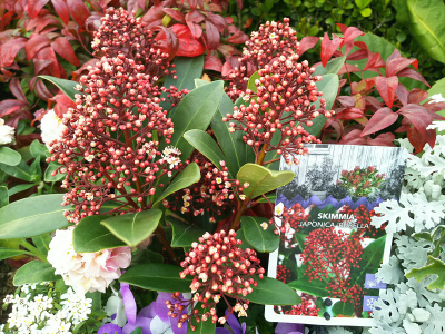 DSC_1360_0304バス通りのマンションの花壇のスキミアの花_400