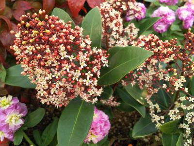 DSC_1356_0304バス通りのマンションの花壇のスキミアの花_400