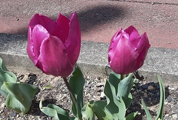 赤紫のチューリップ