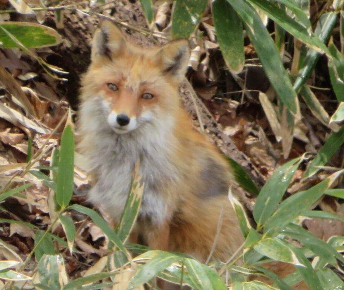 20200423月寒公園狐