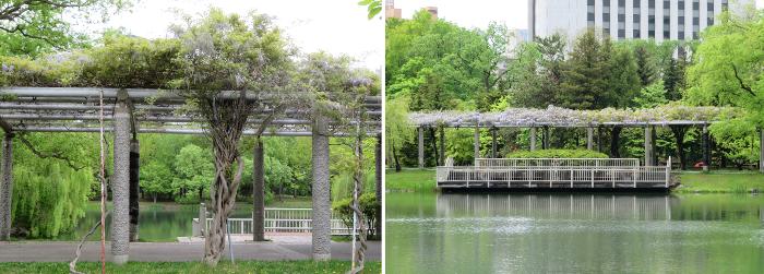 中島公園藤棚