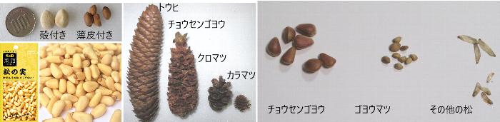 20200923松の実と種