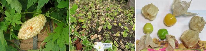 ホオズキ20200927