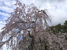 桜石関公園1