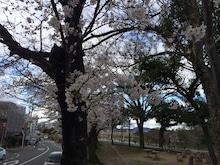 桜石関公園2