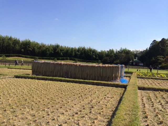 稲刈り井田