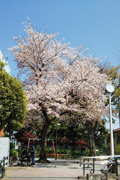 2020 桜 2