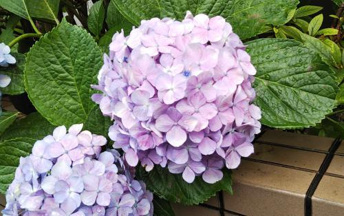 梅雨時は紫陽花