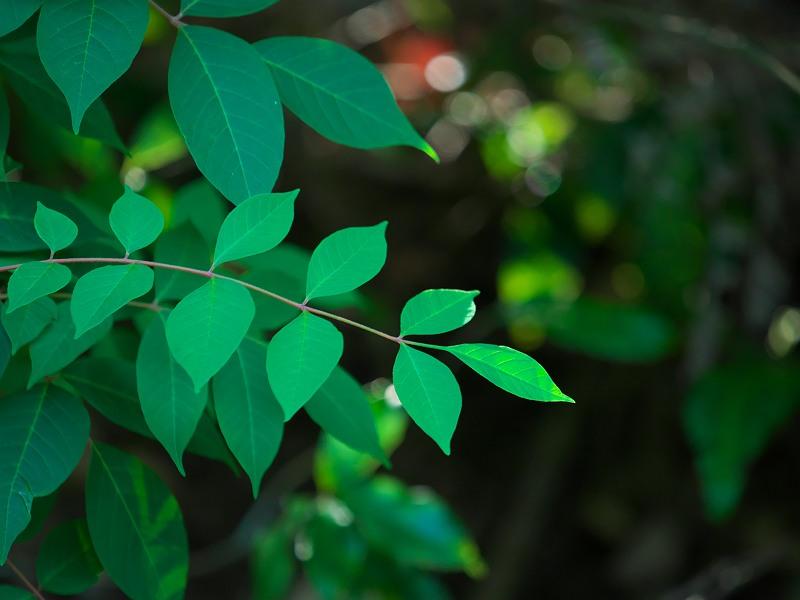 木陰の若葉