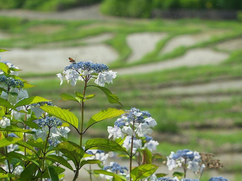 棚田に訪れる初夏