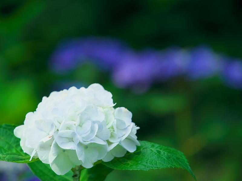 純白の輝き