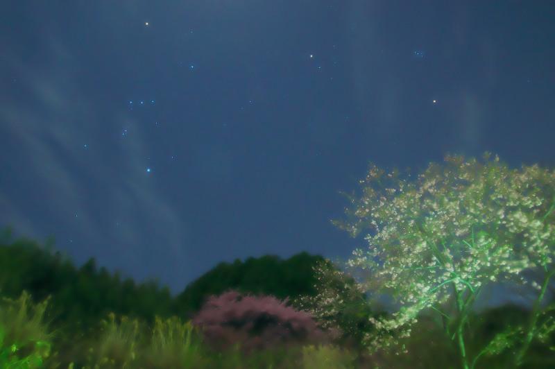月夜 河津桜が咲く丘