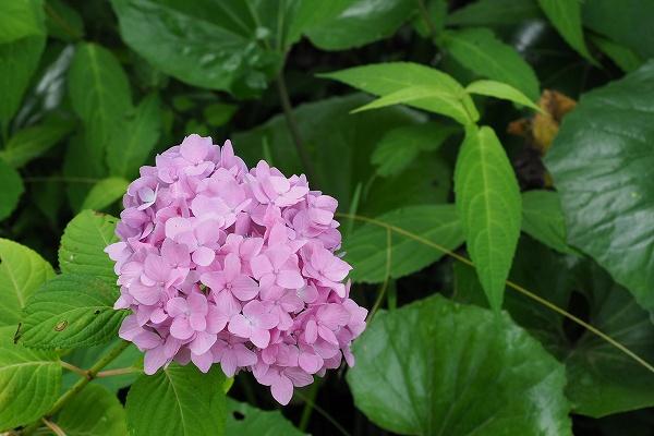ヒメアジサイ ( 姫紫陽花 )