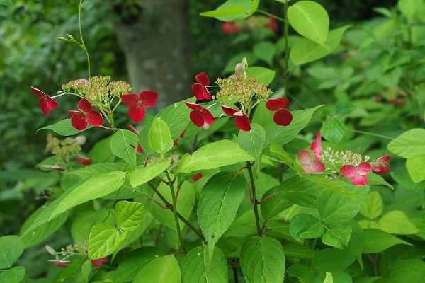 ヤマアジサイ ( 山紫陽花 )