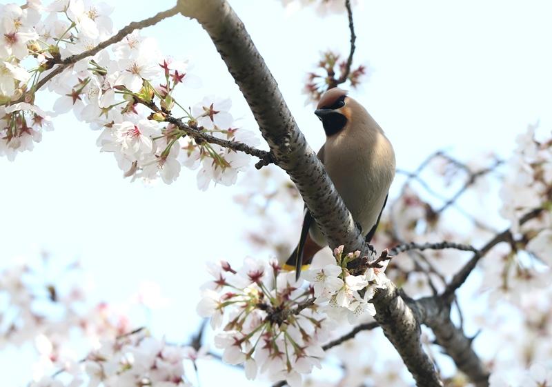 桜レンジャク1200404