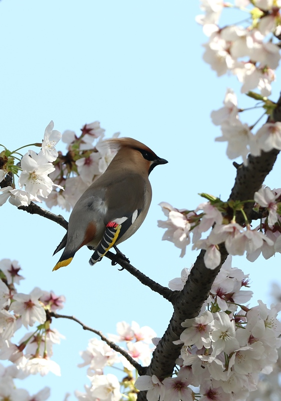 桜レンジャク2200404