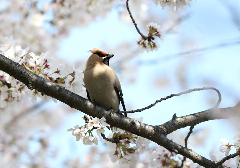 桜レンジャク4200404
