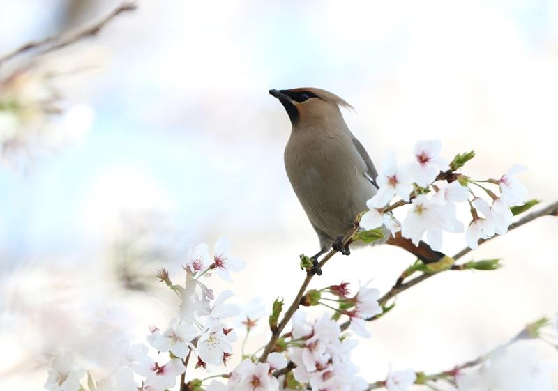 桜レンジャク5200404