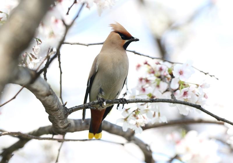 桜レンジャク6200404
