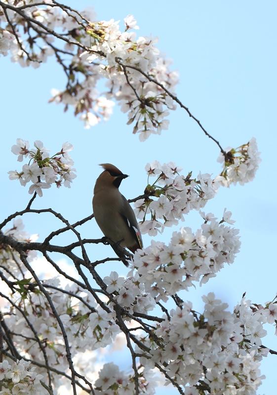 桜レンジャク7200404