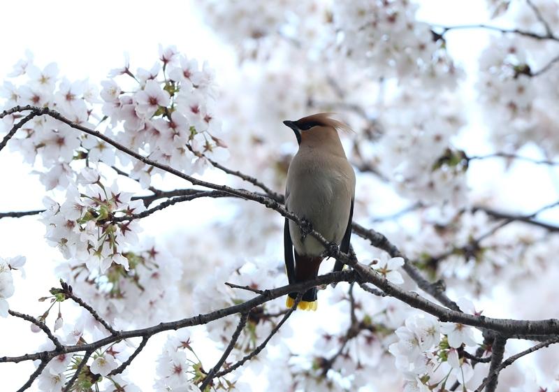 桜レンジャク10200404