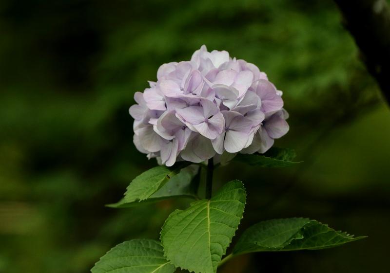 紫陽花1200627