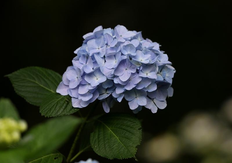 紫陽花3200627