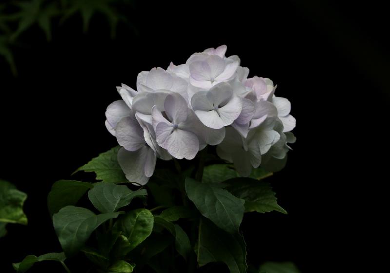 紫陽花6200627