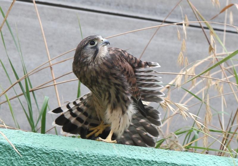 チョウゲンボウ7200611 (2)