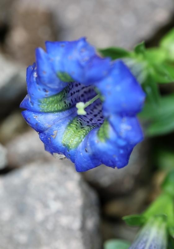 高山植物8200714