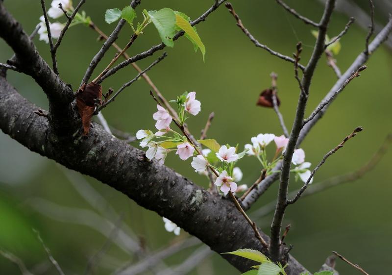 桜2200917