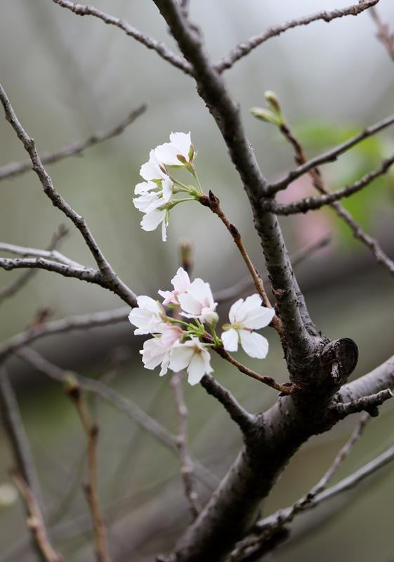 桜3200917