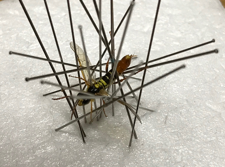 キコシボソハバチ乾燥標本20200422