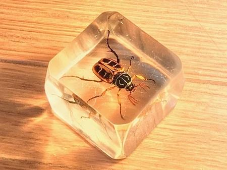 オオトラフコガネの樹脂標本