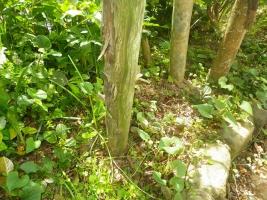 庭のヤマトシロアリ