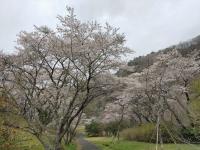 桜公園の桜は、満開!