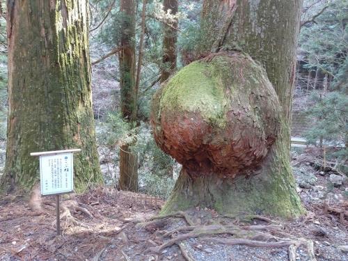 手水場の奥にある「こぶ杉」