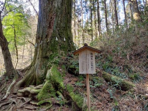 ご神木の「三本杉」