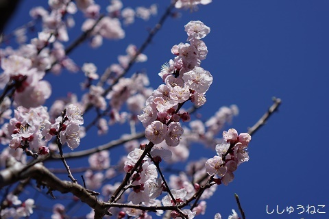 杏9分咲き