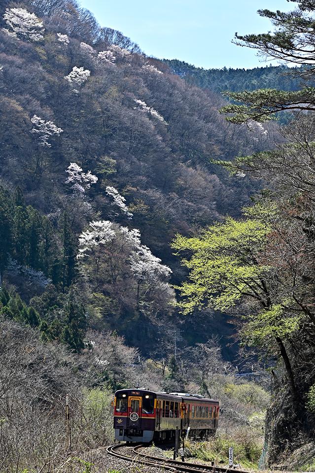 watakeiyamazakura